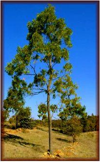 The qualities of Acacia hardwood species