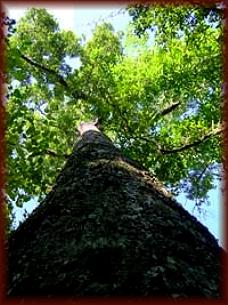 The qualities of Mempening Oak hardwood species