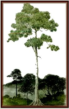 The qualities of Balau hardwood species