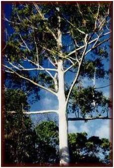 The qualities of Eucalyptus hardwood species