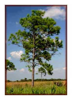 The qualities of Pinus Elliotis Wood species