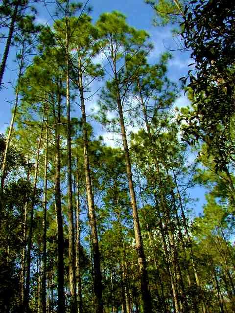 Pinus Elliotis Trees
