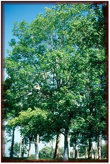 The qualities of Hevea Brasiliensis hardwood species