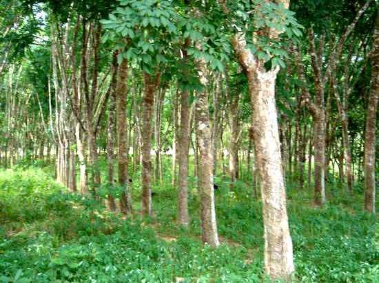 Hevea Brasiliensis Plantation