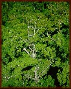 The qualities of Kapur hardwood species