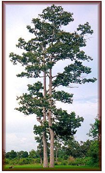 The qualities of Keruing hardwood species