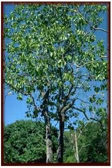 The qualities of Nyatoh hardwood species