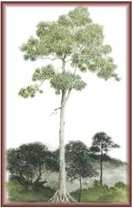 The qualities of Shorea hardwood species