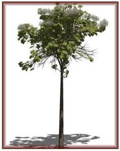 The qualities of Tectona Teak hardwood species