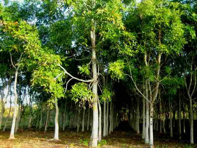 Nyatoh Plantation