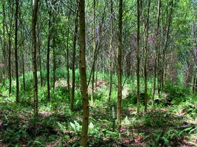 Acacia Plantation