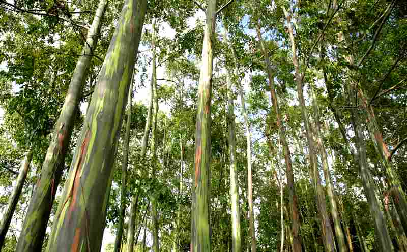 Rainbow (deglupta) Eucalyptus Plantation