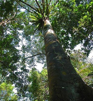 Keruing Tree